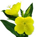 Evening Primrose Seed CO2 Oil