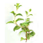 Peppermint Arvensis - Essential Oils