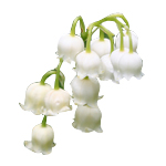 Lily Of The Valley - Fragrant Oils