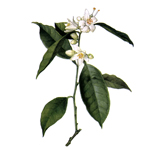 Orange Blossom - Fragrant Oils