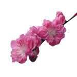 Peach Blossom - Fragrant Oils