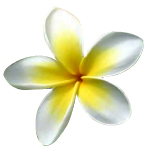 Frangipani Absolute 3% in Jojoba Oil - Precious Oil Dilutions