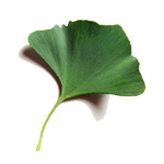 Ginkgo Leaf - Liquid Extracts [Water Based]