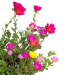 Portulaca - Liquid Extracts [Glycerine Based]