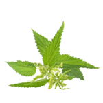 Nettle Root - Liquid Extracts [Water Based]