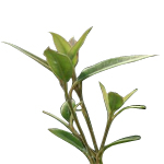 Lemon Myrtle - Certified Organic Essential Oils - ACO 10282P