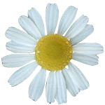 Chamomile Flower - Certified Organic CO2 Oils - ACO 10282P