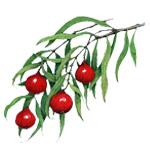 Quandong - Liquid Extracts [Glycerine Based]