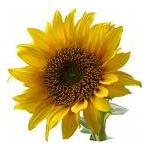 Sunflower Refined Oil - Certified Organic Vegetable & Carrier Oils - ACO 10282P