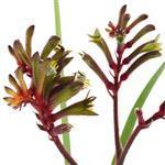 Kangaroo Paw - Liquid Extracts [Glycerine Based]